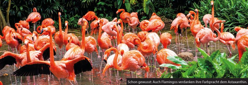 Flamingos in einem Teich.